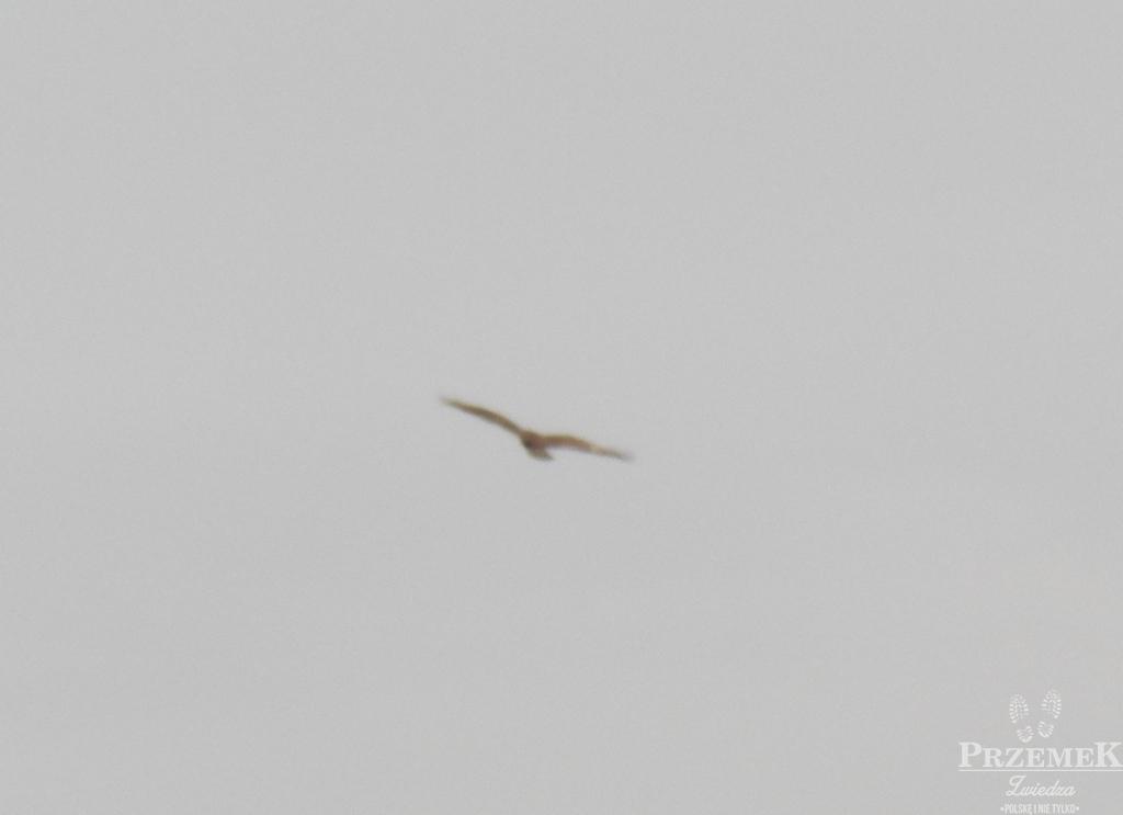 Orzeł, duża wrona, może myszołów?