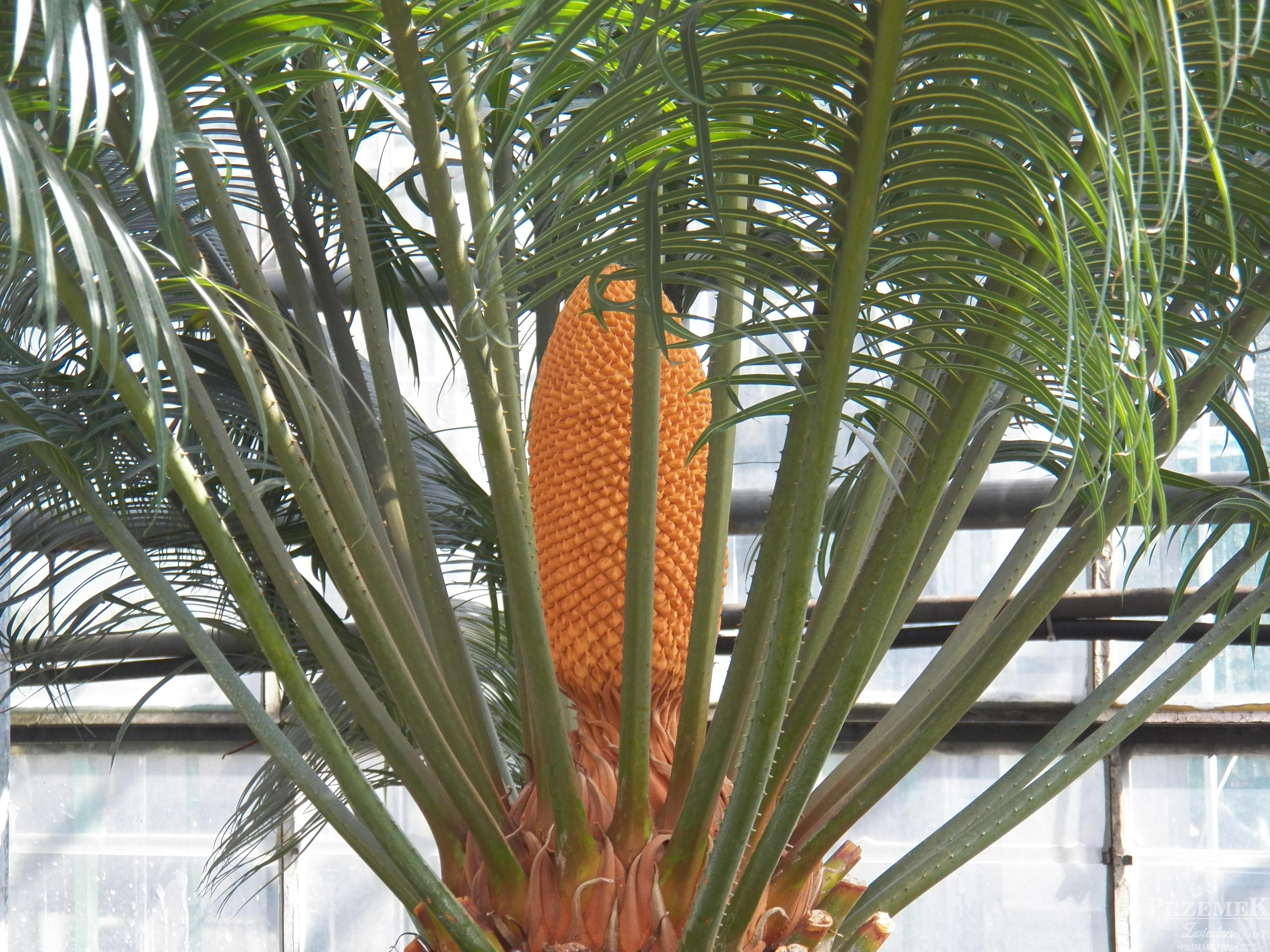 cycas ogród botaniczny