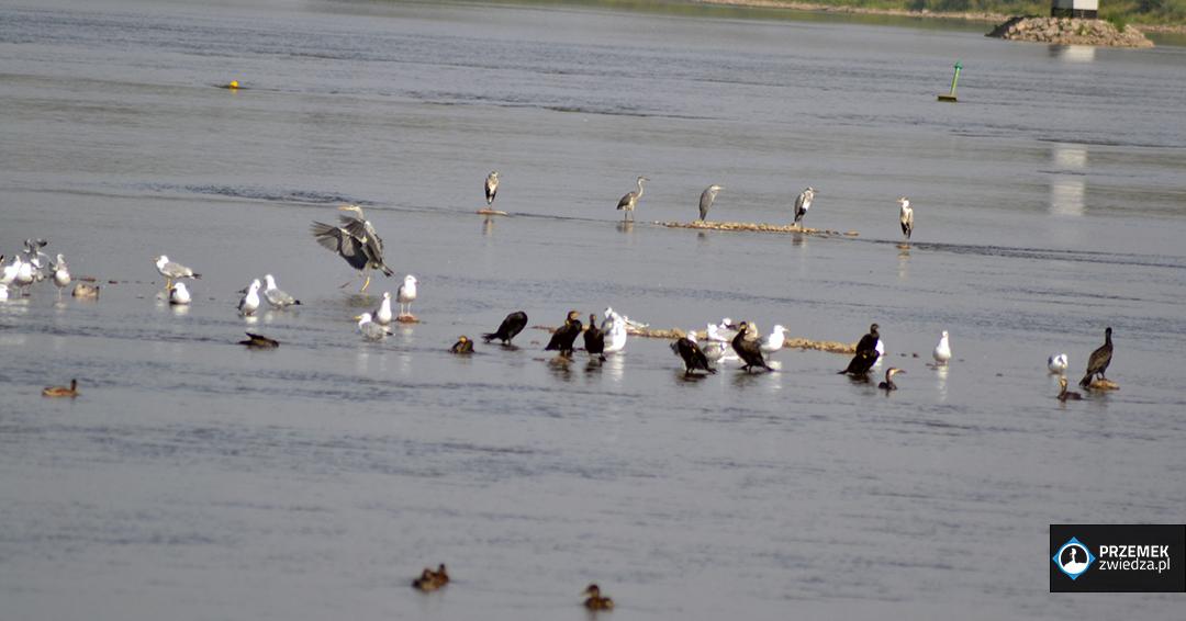 Czaple, mewy, kormorany i kaczki kładka żerańska