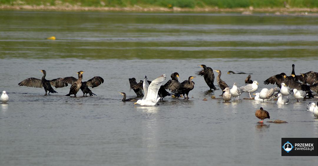 kormorany kładka żerańska