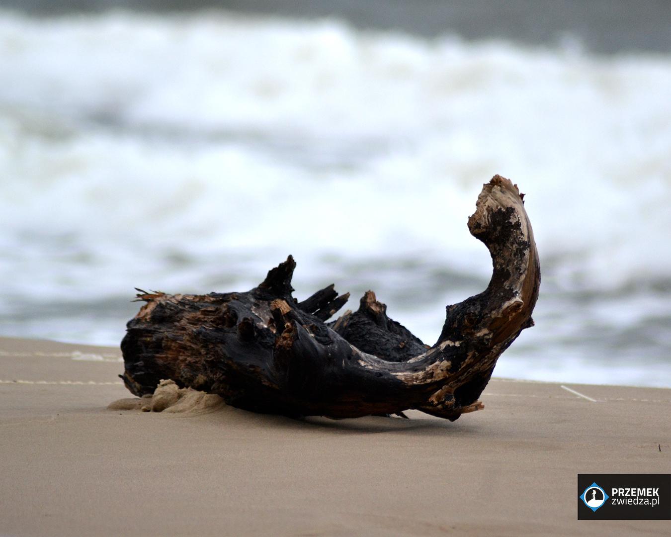 morze kłoda biegus rdzawy