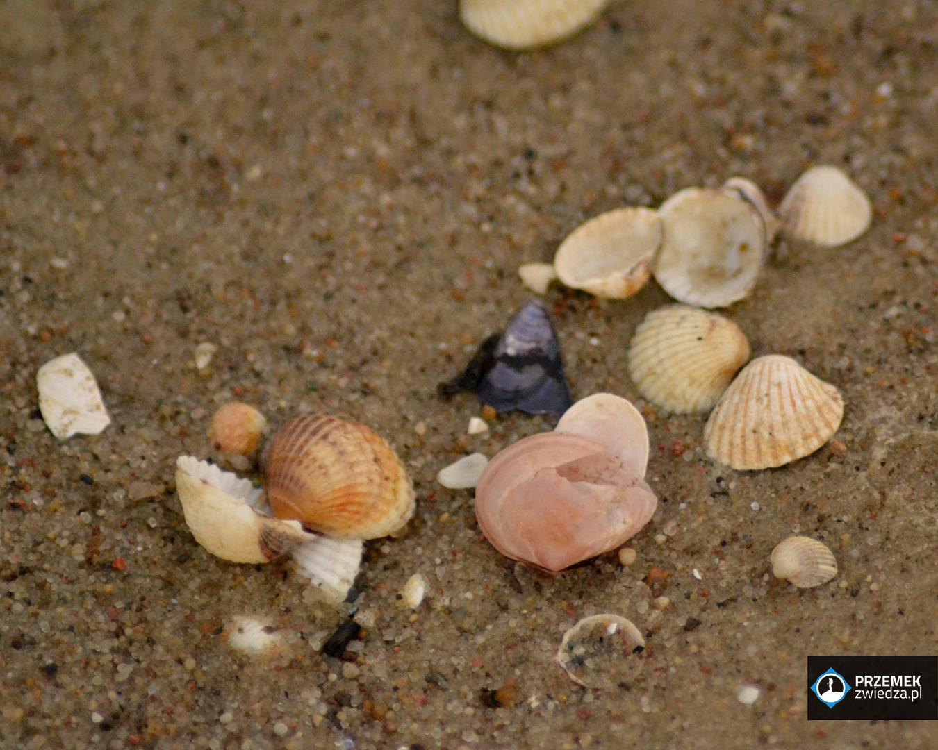 rdzawy biegus muszelki plaża