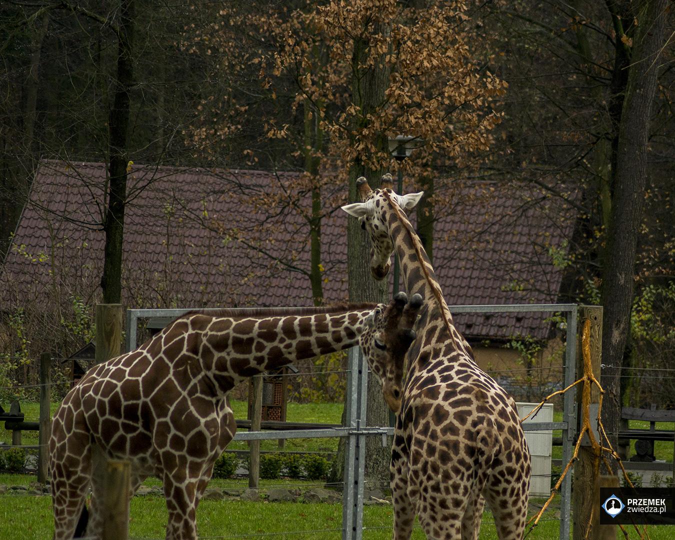 Żyrafa siatkowana i żyrafa Rothschilda