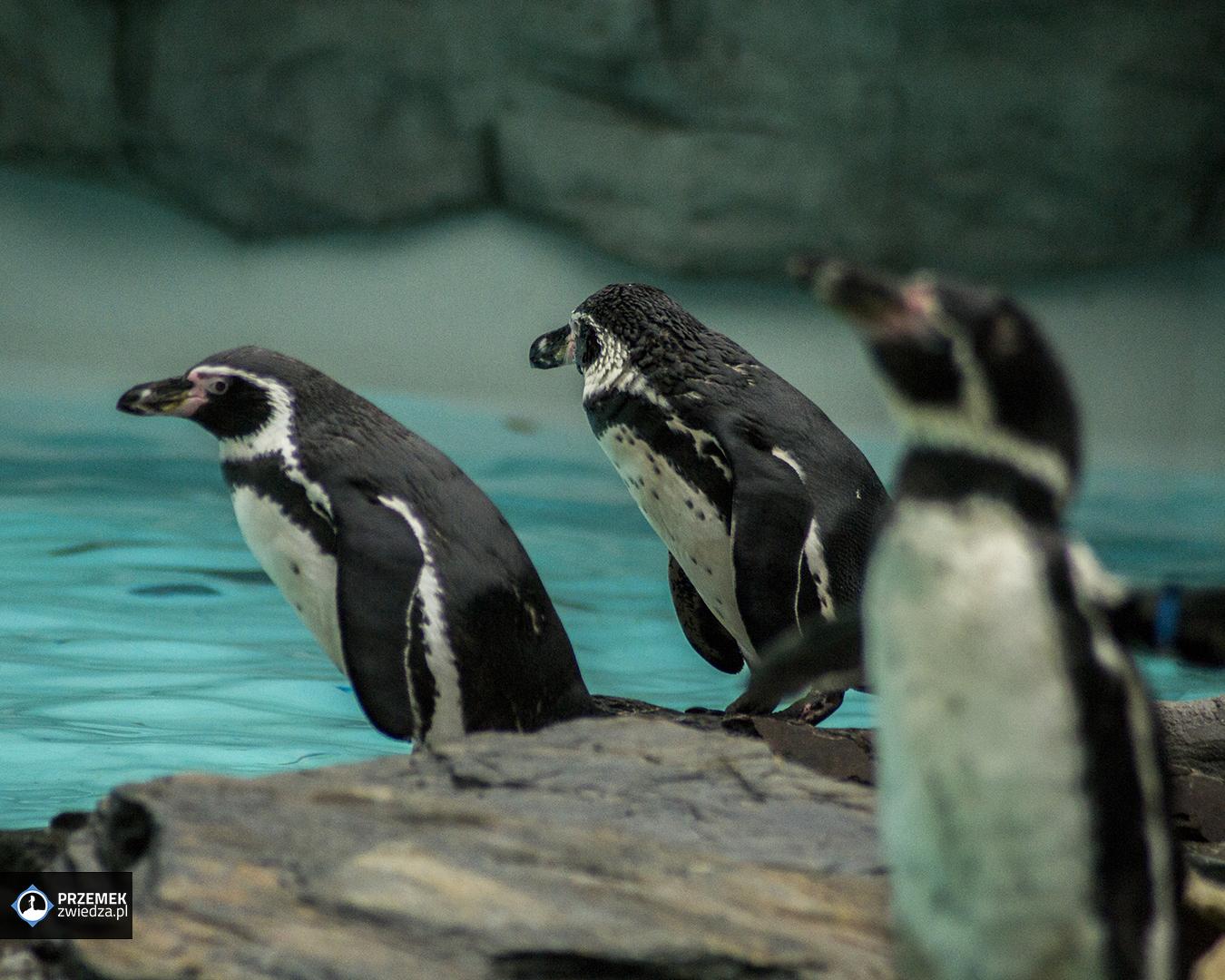 Pingwiny Humboldta Ogród zoologiczny w Krakowie