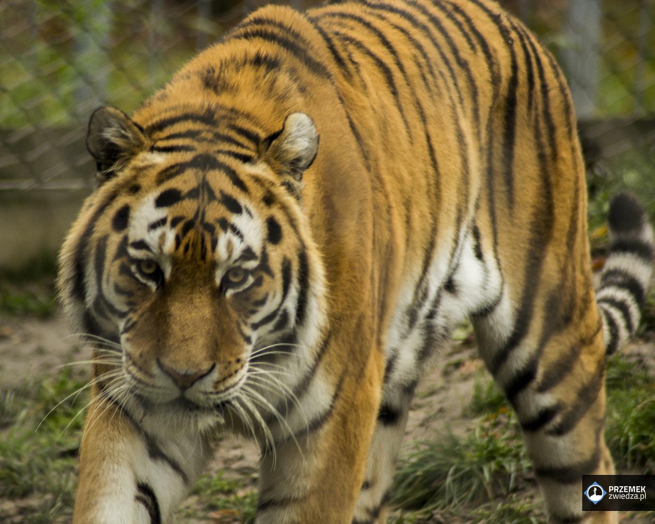 Tygrys amurski
