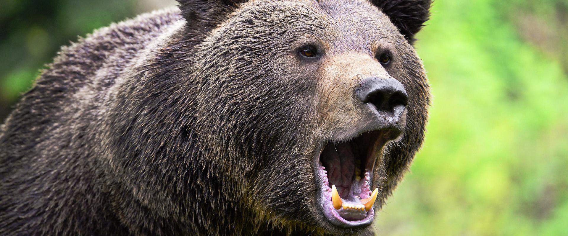 niedźwiedź porady jak się zachować przemekzwiedza blog