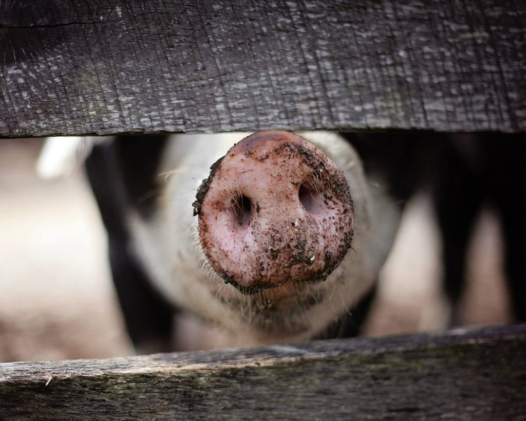 moje plany na 2019 rok świni